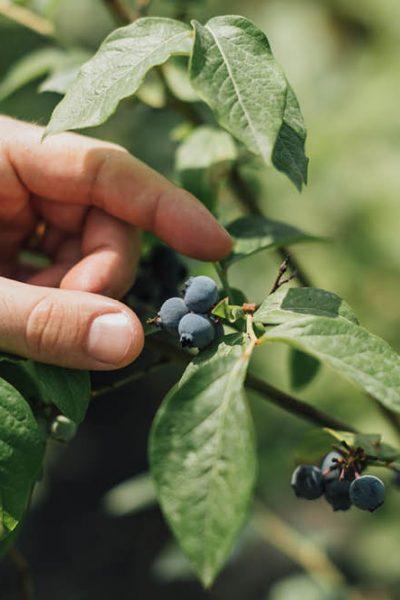 Coltivazioni biologiche di mirtilli presso fondobrugarolo